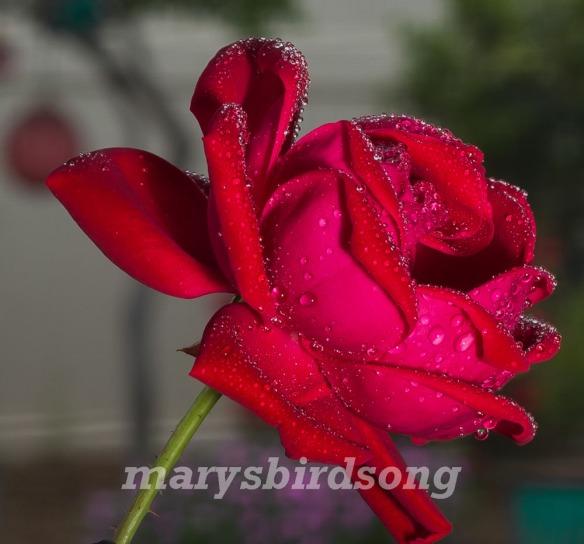 rose bubbles2name001