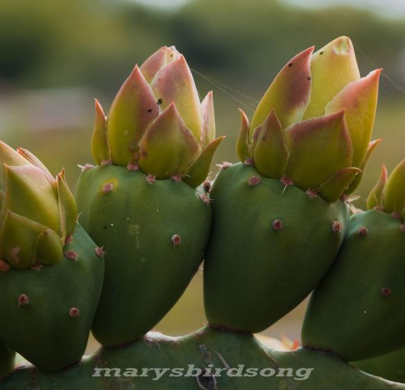 cactuscrown001