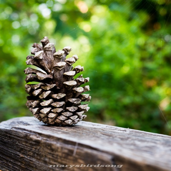 pinecone001