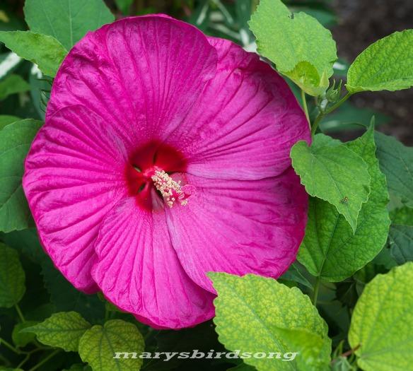 pink giant hibscusnamesize001