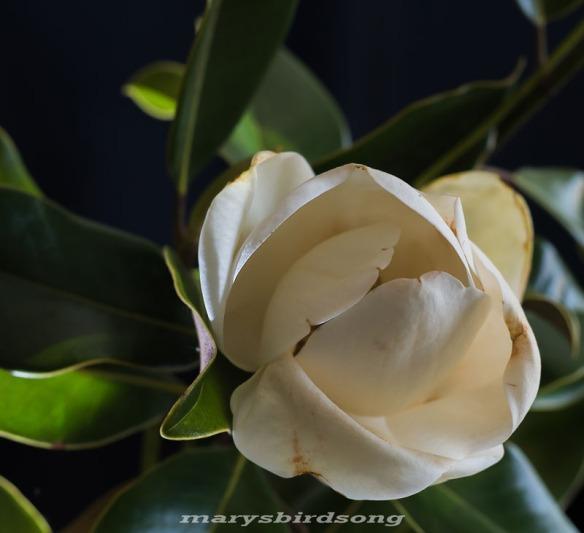 magnolianamesize001