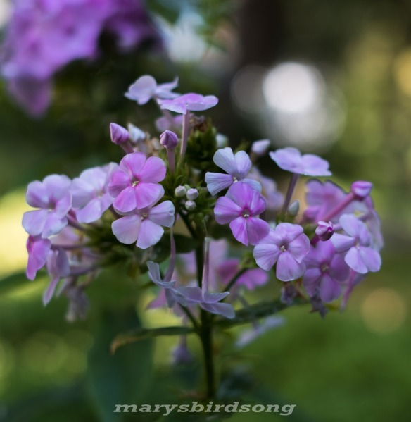 franklinspurpleflowernamesize001