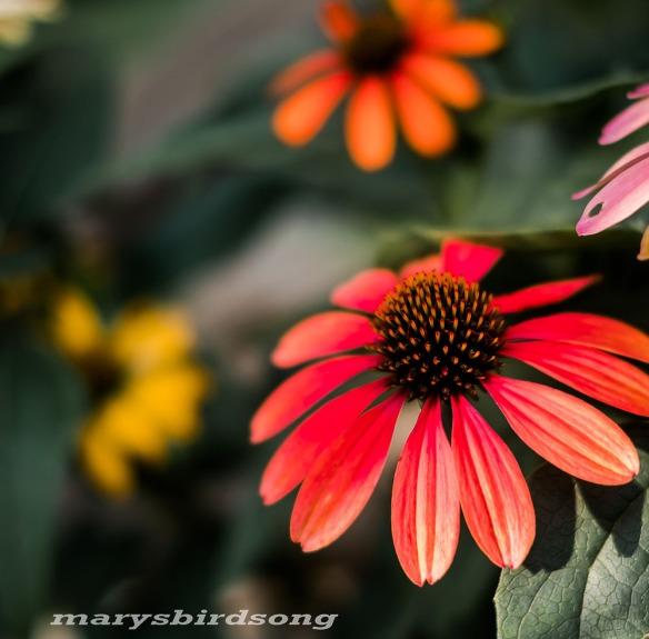 franklinorangeconeflowernamesize001