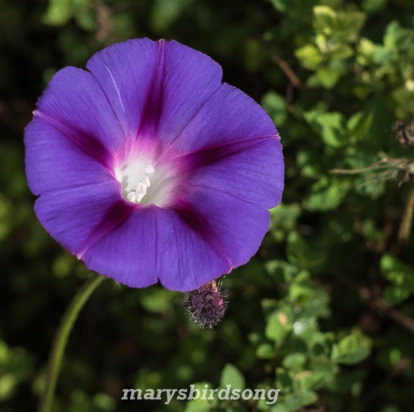 purplemorningglorynamesize